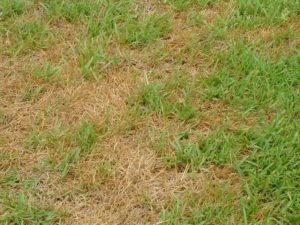 brown stops in grass due to lack of water